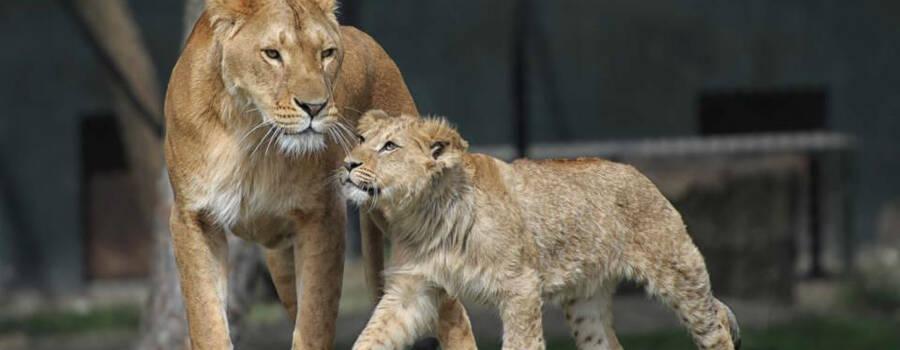 Leeuwen Safaripark Beekse Bergen
