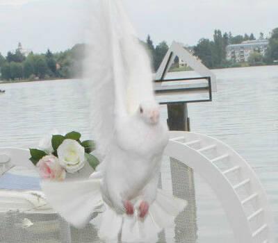 Beispiel: Hochzeitstaube, Foto: Losters Weisse Hochzeitstauben.