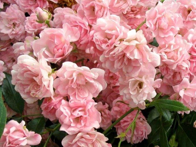 """Rosa della tipologia """"tappezzante"""", anche nota come rosa """"The Fairy"""". Foto: mooseyscountrygarden.com"""