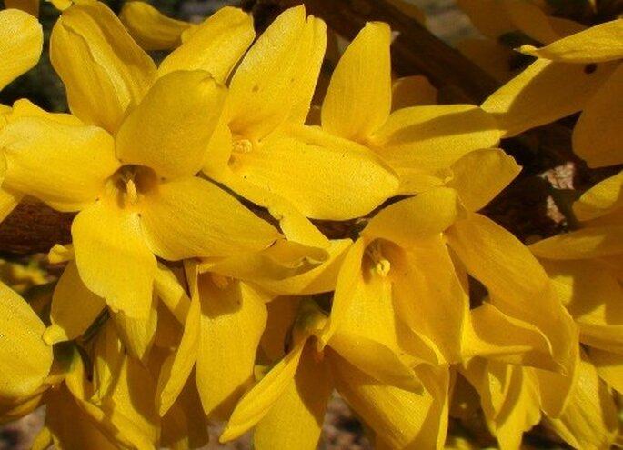 Wählen Sie Saisonblumen, die sind günstiger – Foto: flickr, forsytia fotopedia