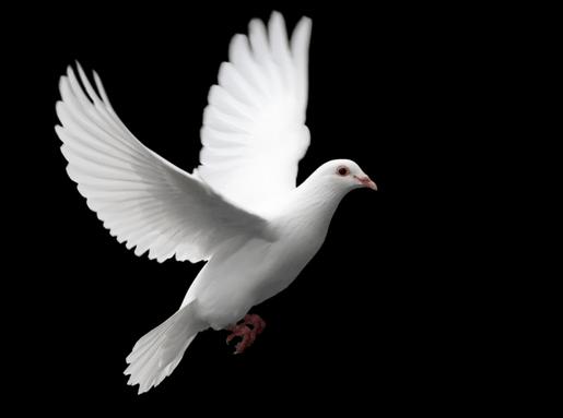 Beispiel: Hochzeitstaube,Foto: Zwei weisse Tauben.