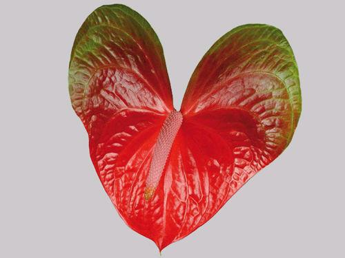 Red Amor - eine Anthurie die zur Hochzeit passt....