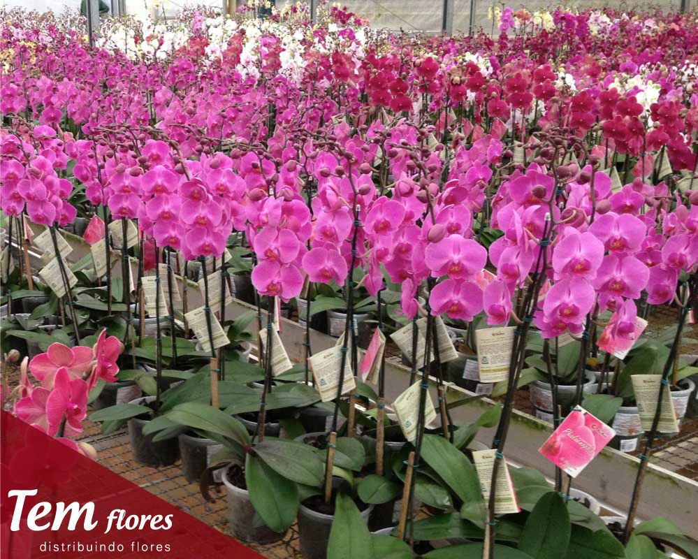 Phalaenopsis Linha Premium - Temflores