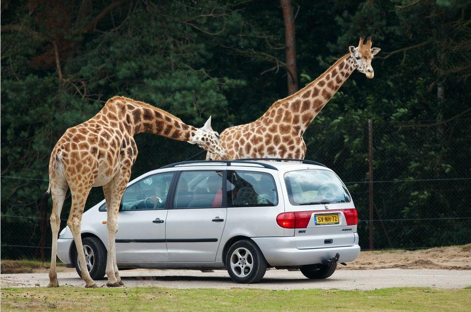 Giraffen op onderzoek uit Safaripark Beekse Bergen