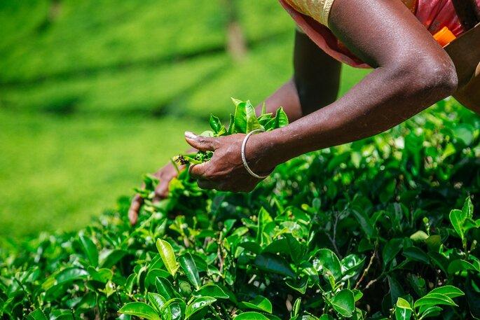 Photo : Sri Lanka NuwaraEliya ©iStock_danilovi