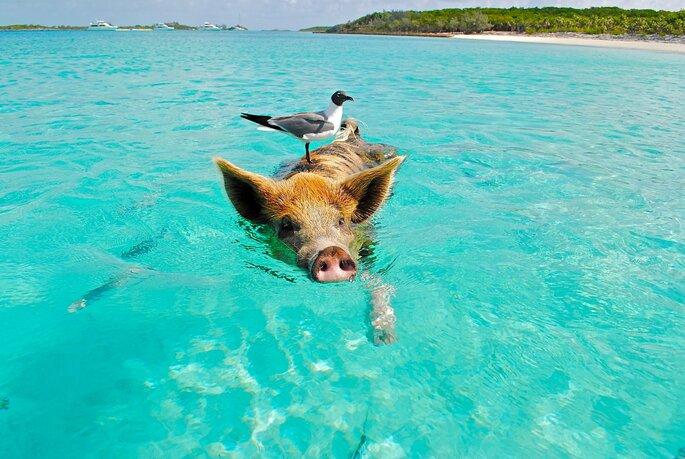 Schweine im Meer