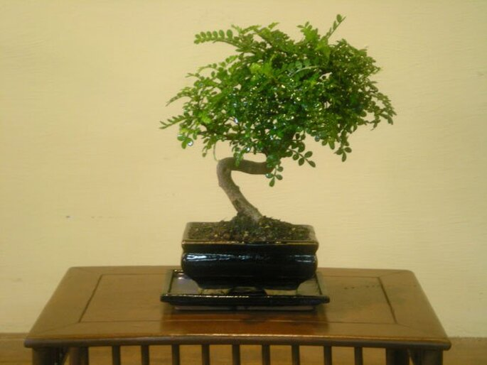 Le bombonsai di lombardi plants for Bonsai pepe
