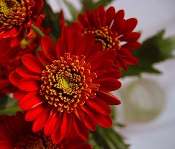 Margaritas rojas para ramos de novia