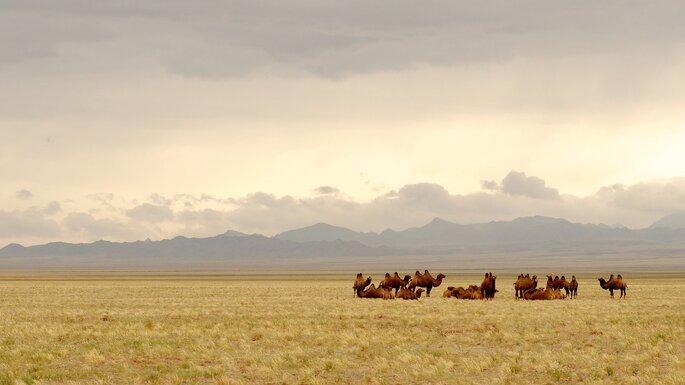 Campos da Mongólia - Camelos