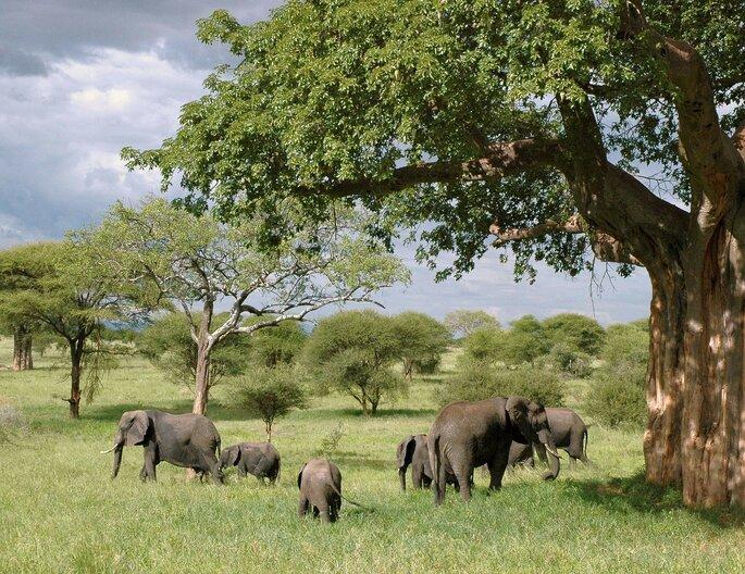 Elefantes na Tanzânia.