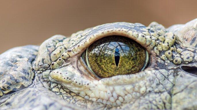 oeil d'aligator