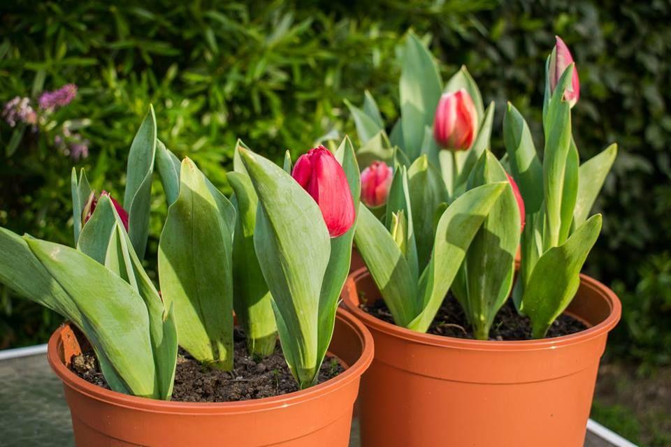 Bulbos Tulipán