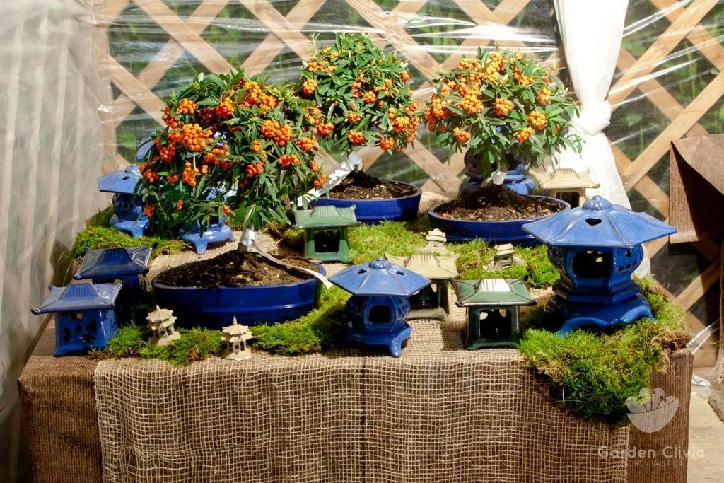 Garden Clivia