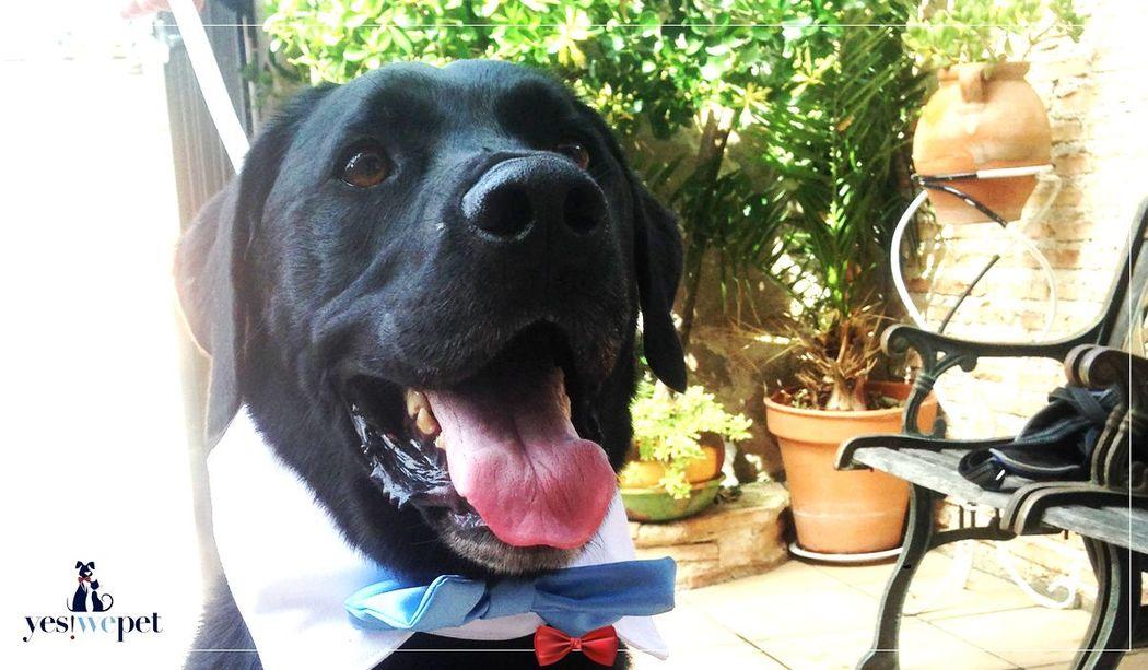 Con los accesorios de boda para perros de Yes We Pet