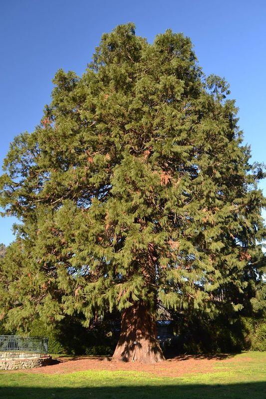 Le Séquoia