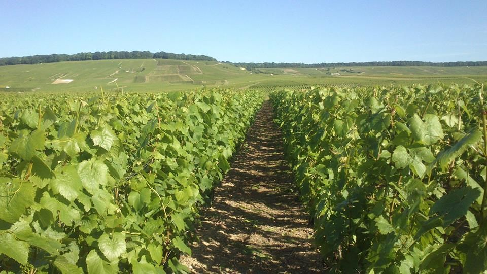 Vignes au printemps, Champagne Bourgeois-Boulonnais
