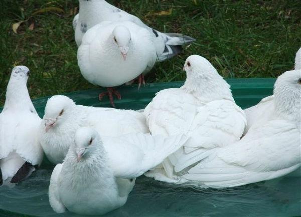 Beispiel: Tauben beim Baden, Foto: Hochzeitstauben Michaela Kohl.