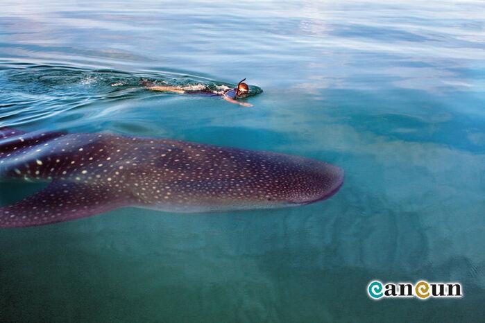 Disfrutad de la experiencia de nadar con el gigantesco Tiburón Ballena